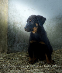 chiot beauceron disponble en mai 2017