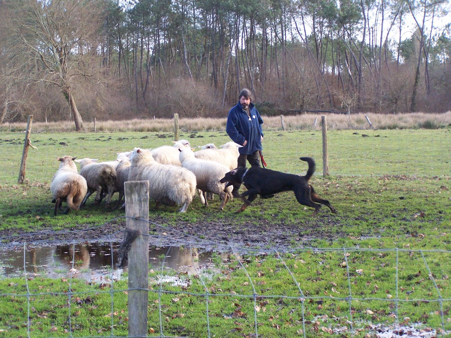 beauceron ,le travail au troupeau