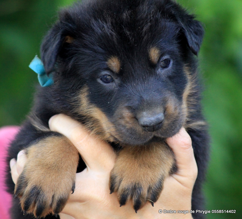chiots beaucerons disponibles de CH India de Euskal Herria et Lord of the Win de l'Ombre rouge de Phrygie