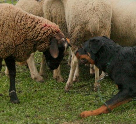 beauceron et brebis, mouton